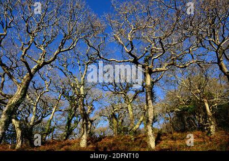 Arbres de chêne d'hiver torsadés dans un ancien bois gallois Lawrenny Ancient Oak Woodland Pembrokeshire pays de Galles Cymru Royaume-Uni