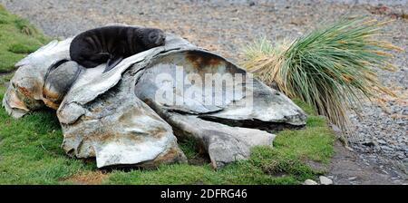 Les vestiges anciens des baleines se trouvent sur la plage, parmi les ruines de la station de chasse à la baleine. Un jeune phoque à fourrure de l'Antarctique (Arctocephalus gazella) prend de l'avance