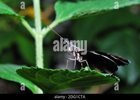 Beau grand papillon noir assis sur la feuille dans la forêt tropicale Banque D'Images
