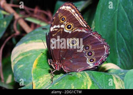 Beau gros papillon brun assis sur une feuille dans le forêt tropicale Banque D'Images