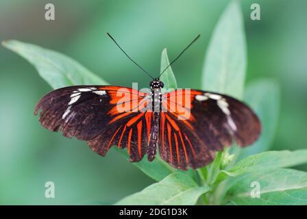 Magnifique papillon rouge noir coloré sur la feuille dans le forêt tropicale Banque D'Images