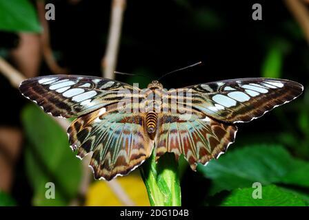 Magnifique grand papillon coloré assis sur une feuille dans la forêt tropicale Banque D'Images