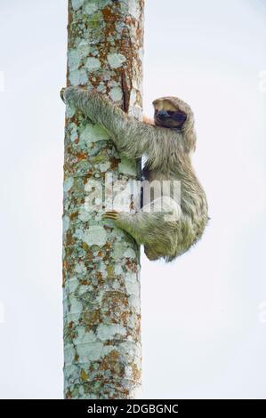 Sloth à trois doigts (Bradypus tridactylus) grimpant sur un arbre, Sarapiqui, Costa Rica