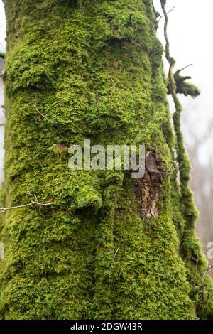 mousse sur un tronc de hêtre