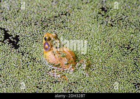 Bullfrog assis dans un étang couvert d'algues avec des algues Blooms sur Dos de grenouille et partie des pattes de grenouille provenant de l'eau