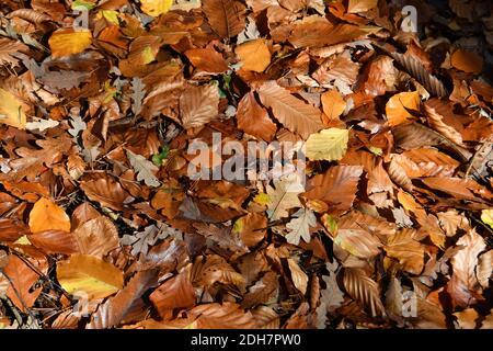 Photos pour une caractéristique sur Wellesley Woodland, Aldershot - automne Weekend Walks caractéristique. Sentiers forestiers.