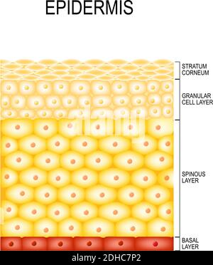 Cellules de la peau et structure couches de l'épiderme. Cornifié (stratum corneum), couche transparente ou translucide (lucidum), granuleux (stratum granulosum)