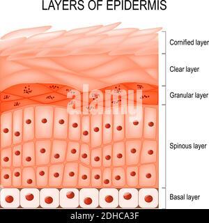 Structure de l'épiderme : cornifié (stratum corneum), couche transparente ou translucide (lucidum), granuleux (stratum granulosum), spineux (spinosum)