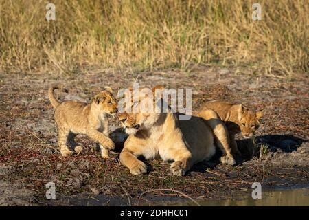 La lionne et ses deux petits lion de bébé jouant à la Bord de l'eau dans la réserve de Savuti au Botswana