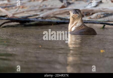 Loutre de rivière néotropicale (Lontra longicaudis) de Rio Cristalino, l'Amazone, Brésil.