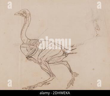 Dorking Hen Body, Lateral View (dessin des muscles), George Stubbs, 1724–1806, British, 1795 à 1806, Graphite, stylo à encre de Galle de fer, avec des traces d'encre rouge sur du papier de vélin fin, légèrement texturé, crème posé sur du papier de vélin moyennement épais, modérément texturé, feuille : 10 1/4 x 12 3/4 pouces (26 x 32.4 cm) et support : 12 7/8 x 18 3/8 pouces (32.7 x 46.7 cm), étude anatomique, anatomie, oiseau, étude de figure, étude (travail visuel