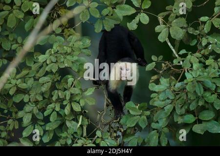 Capuchin à face blanche - Cebus capucinus, beau blanc brun visages primate de la forêt du Costa Rica