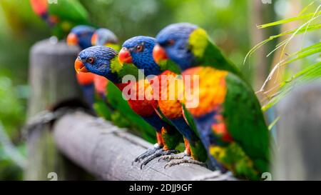 Rainbow loriquets verts