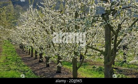 Cerisiers en fleurs près de Winningen, vallée de la Moselle, Rhénanie-Palatinat, Allemagne