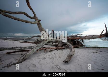 Allemagne, Mecklembourg-Poméranie occidentale, Prerow, homme assis sur la plage ouest sur un arbre, Mer Baltique