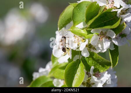 L'abeille très occupée recueille le pollen des pommiers blancs avec la rosée tombe tôt le matin