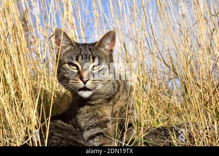Tabby chat parmi l'herbe sèche regardant la caméra.