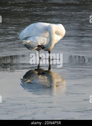 Le cygne muet préenorme les plumes inférieures en se tenant debout sur un lac gelé avec un reflet pur dans la glace donnant une image miroir