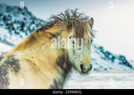 cheval blanc islandais Banque D'Images