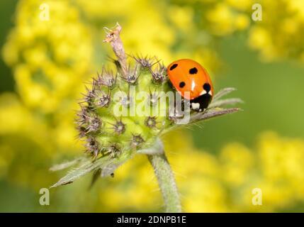 Coccinella septempunctata, coccinella seppunctata, sept taches Ladybird aka, contre le fond de fleurs jaunes hors foyer Banque D'Images