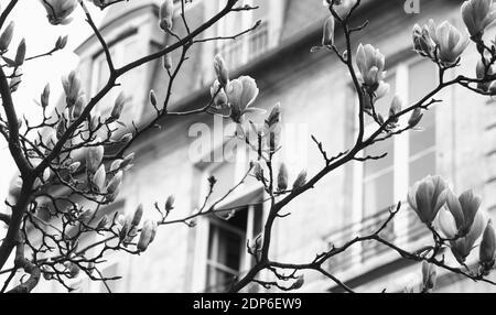 Printemps à Paris. Le magnolia fleuri et un bâtiment typiquement parisien avec un mansarde en arrière-plan. Concept de vacances romantiques. Photo noir et blanc.