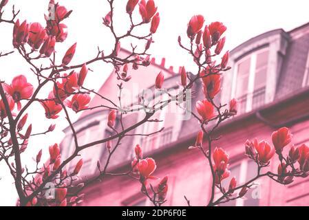 Printemps à Paris. Le magnolia fleuri et un bâtiment typiquement parisien avec un mansarde en arrière-plan. Concept de vacances romantiques. Ton rêveur vintage