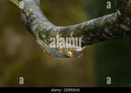 Gecko à queue de feuilles mossy (Uroplatus sikorae), Parc national de Ranomafana, Madagascar Banque D'Images