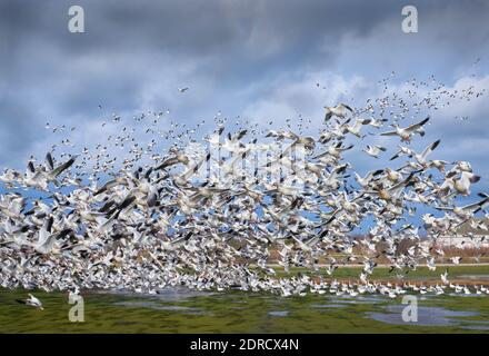 Écluse de Garry point. Décollage des oies des neiges du parc Garry point. Richmond, Colombie-Britannique, Canada. Banque D'Images