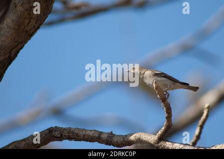 Gymnoris xanthocollis à gorge jaune mâle. Parc national GIR. Gujarat. Inde.