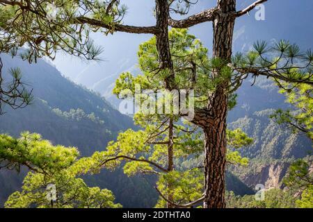 Écorces d'arbres brûlées et nouvelle repousse verte suite à un feu de forêt le pin de l'île des Canaries (pinus canariensis) à la Cummbrecita, la Palma, îles Canaries, Espagne Banque D'Images