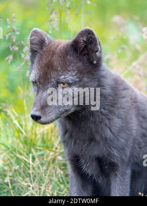 Renard arctique (Vulpes lagopus, Alopex lagopus), îles Melrakasetur. Régions polaires, Islande, Westfjords