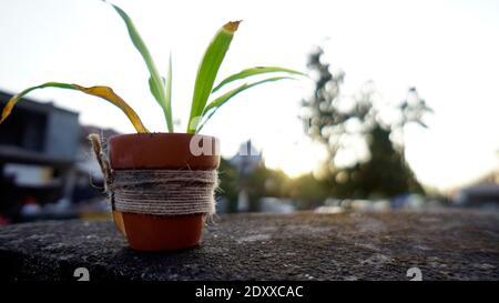 Pot de plante, arbres verts dans pot fait de sol.le fond est flou et bokeh de lumière.