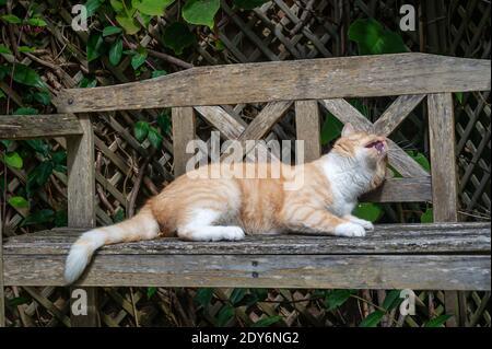 Ginger Cat ludique sur banc en bois