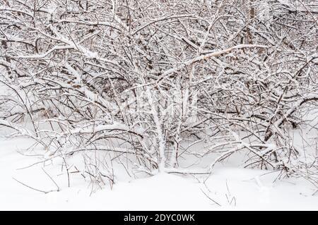 Buissons couverts de neige dans le parc. Les plantes de la forêt d'hiver sont couvertes de gel.