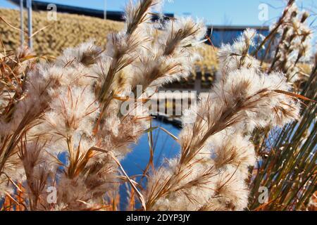 Les herbes ornementales d'hiver en fleur forment le premier plan de cette photo prise au parc urbain le plus populaire d'Oklahoma City, le Scissortail Park.