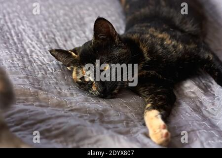 Chat noir allongé sur un canapé gris à la maison. Chat domestique mignon. Concept vétérinaire et international de jour de chat. Mise au point sélective.