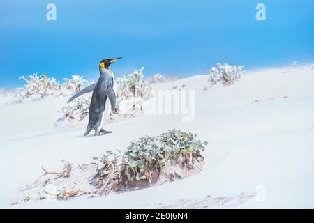 Pingouin roi (Aptenodytes patagonicus) marchant dans une tempête de sable, Volunteer point, East Falkland, îles Falkland,