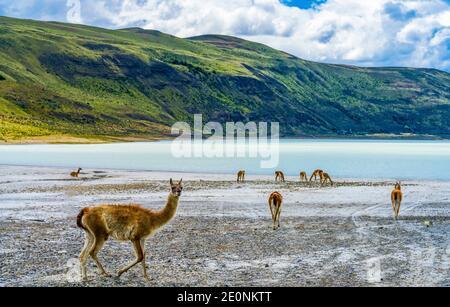 Guanacos Lamas sauvage Eating Salt Atacama Salar Salt Flats Torres del Paine National Park Patagonia Chili.