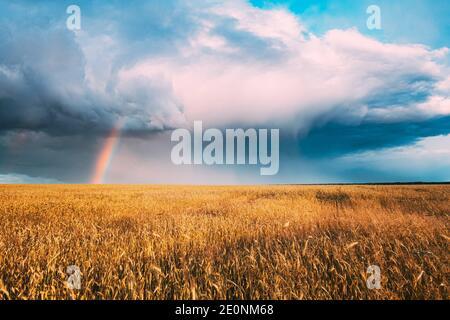 Nuages de pluie et arc-en-ciel coloré au-dessus du champ des oreilles de blé jaune. Paysage agricole d'été.