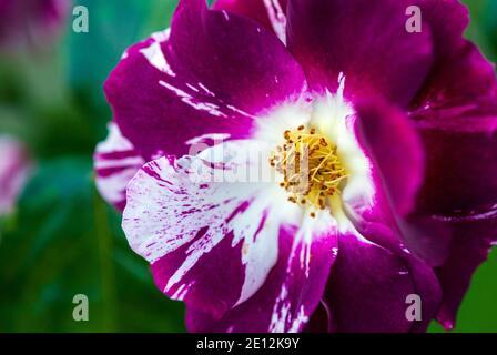 Gros plan de Purple Splash (Oh Wow!, Wekspitrib) fleur de rose élevée par Tom Carruth
