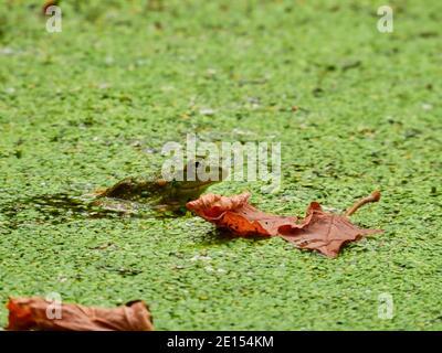 Grenouille dans un étang : une ouaouaron est surtout visible dans un étang avec une croissance de la duckweed en fleurs et quelques feuilles d'automne sur la duckweed et l'eau