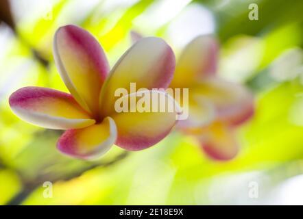 Plumeria fleurs, une fleur parfumée profondément liée à Hawaï et à sa culture, également appelée ''frangipani