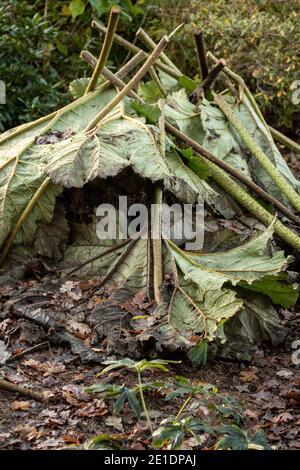Gunnera Tinctoria feuilles couvrant la racine de la plante en préparation pour hiver