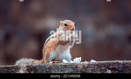 Mignonne jeune écureuil tenant le riz blanc dans les deux mains, mangeant un repas tout en étant en pleine alerte de l'environnement, debout dans un mur.