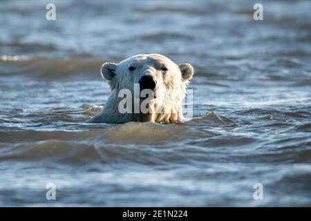 Nage avec l'ours polaire (Ursus maritimus) dans le cercle arctique de Kaktovik, en Alaska