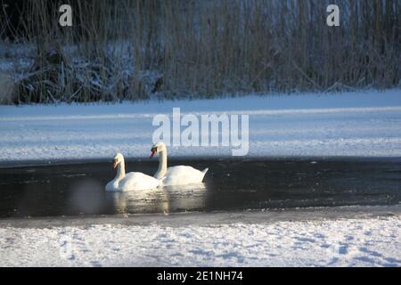 Deux cygnes nageant dans un lac d'hiver. Lacs gelés, paysages gelés. Hivers écossais. Cygnes en hiver au Royaume-Uni.