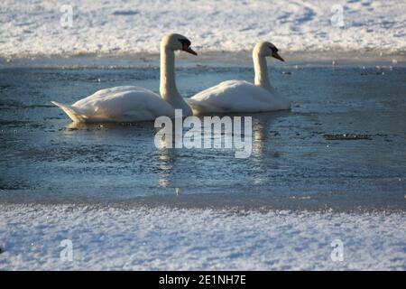 Muets nageant dans un lac écossais partiellement gelé. La faune écossaise, les saisons d'hiver. Parcs d'hiver et grands oiseaux et oiseaux aquatiques.