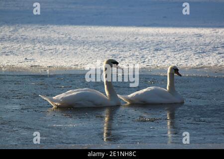 Deux cygnes blancs nageant dans un lac d'hiver. Paysages d'hiver, parcs d'hiver en Écosse. Faune et hiver.
