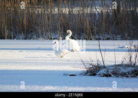 Deux cygnes blancs assis sur un lac gelé recouvert de neige. Paysages d'hiver et oiseaux sauvages dans la nature. Lacs et paysages gelés en Écosse.