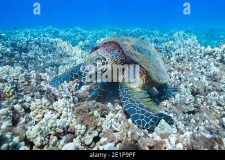 Tortue de mer, Eretmochelys imbricata (espèces en voie de disparition), alimentation sur le récif corallien, au large du parc de la plage de Kahekili, Ka'anapali, West Maui, Hawaii